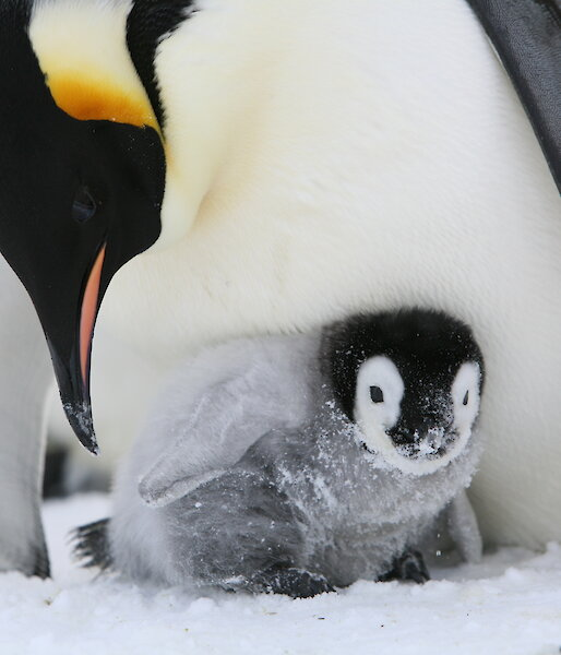 A penguin chick in the snow with an adult penguin leaning over it.