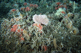 Sea floor creatures including corals and sponges.