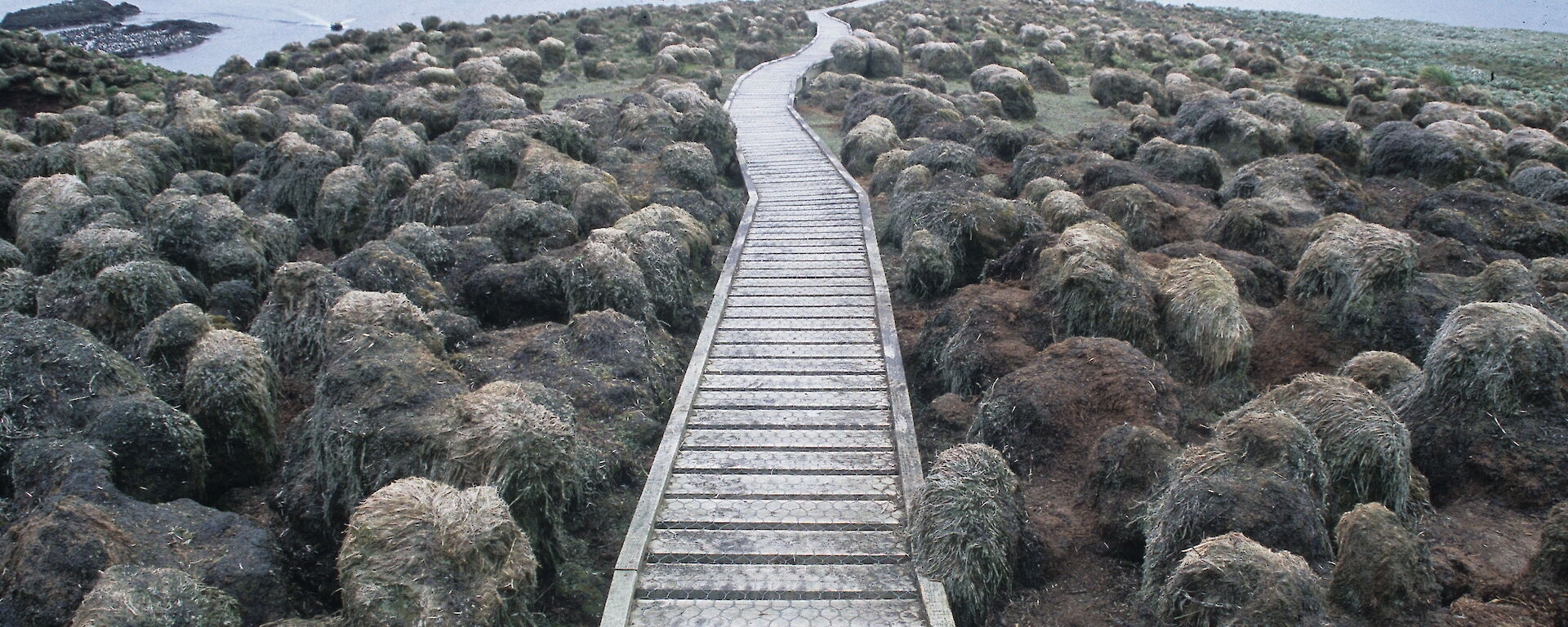 The tourist boardwalk at Sandy Bay in 2005 showing tussock grasses degraded by grazing pressure