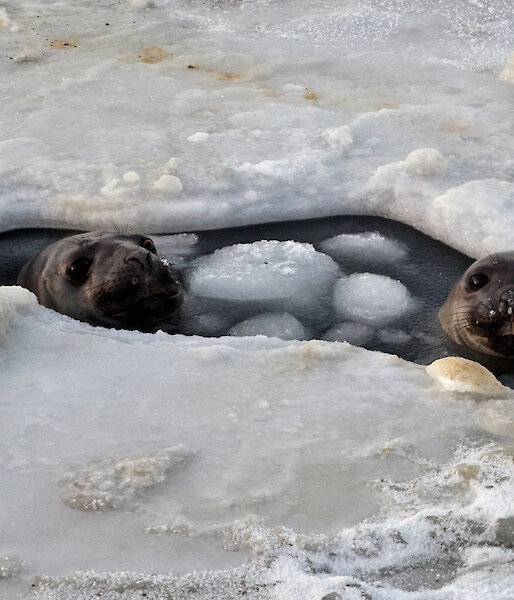 Two elephant seals in a breathing hole in the sea ice