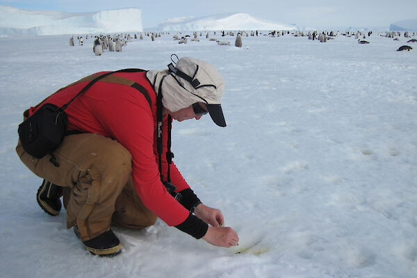 Biologist transferring a fresh faecal sample into a specimen tube whilst behind numerous emperor penguin chicks and some adults can be seen