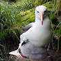 A black-browed albatross with chick, on Macquarie Island.