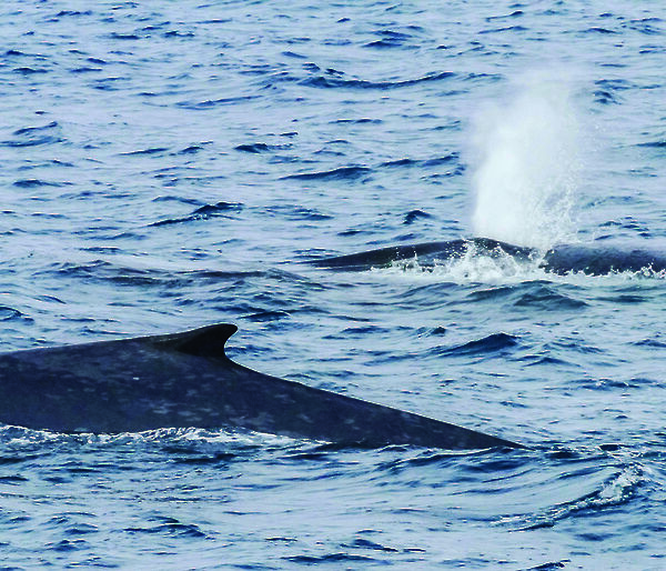 Three blue whales breaching in the Southern Ocean.