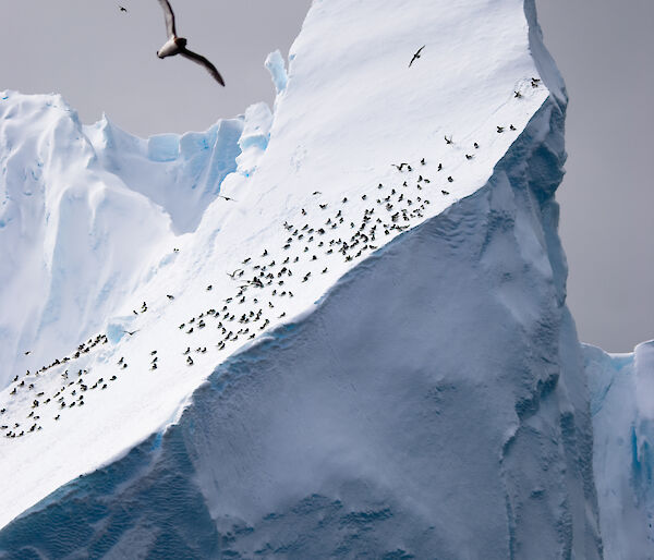 Photo of Cape petrels on iceberg