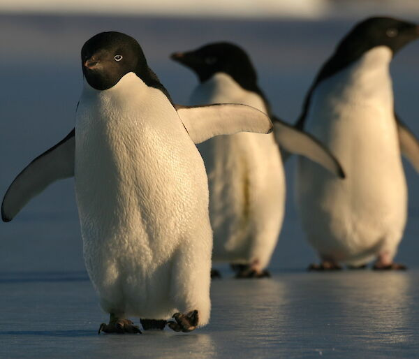 Adelie penguins walking on ice