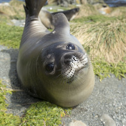 A southern elephant seal weaner on Macquarie island