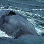 An Antarctic blue whale surfaces for air.