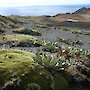 A healthy cushion plant (Azorella macquariensis) with other plants on the alpine plateau of Macquarie Island
