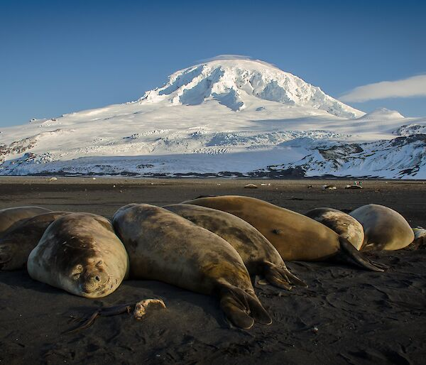 Elephant seals laze on the beach in front of Heard Island volcano Big Ben