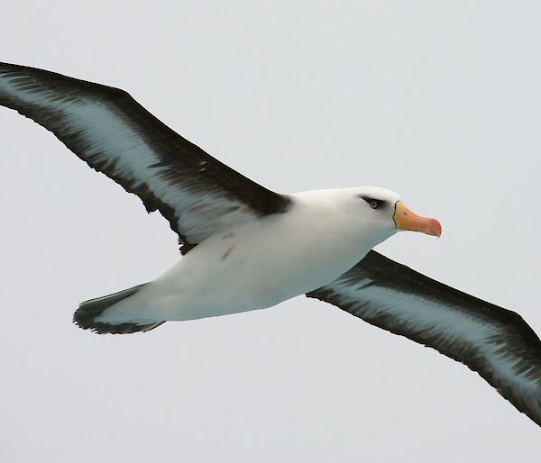 A black-browed albatross in flight