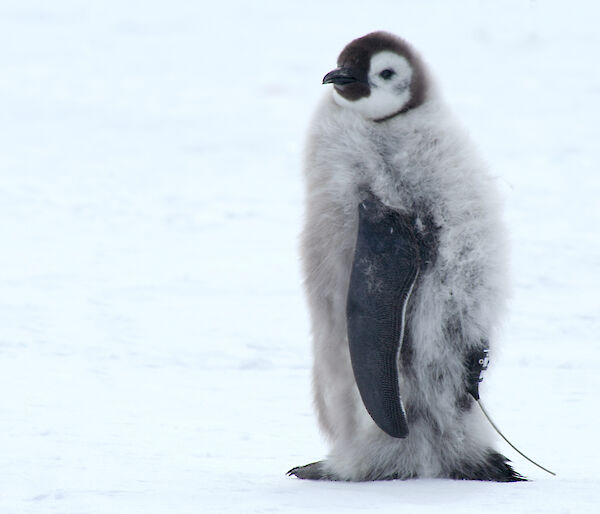 A fledgling emperor penguin with a satellite tracker attached.
