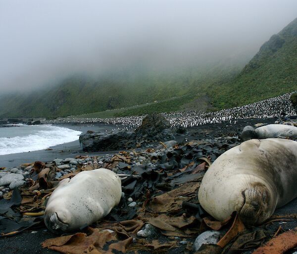 Seals and king penguins on a beach at Macquarie Island.
