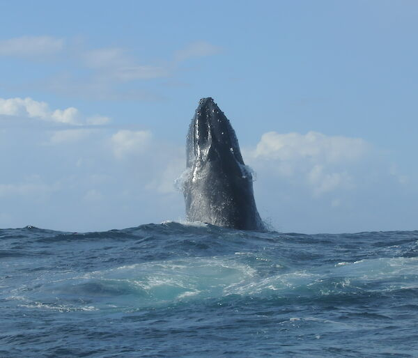 A humpback whale points its upper body straight up out of the ocean in a behaviour known as spy hopping.