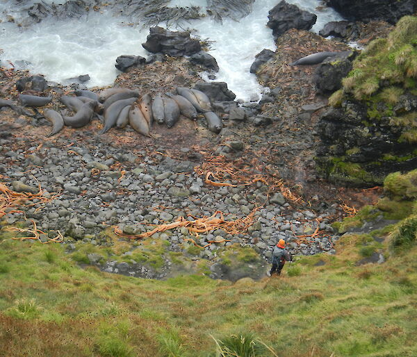 Elephant seals at the base of a scree slope on Macquarie Island.