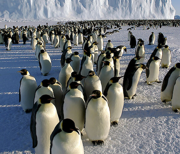 A colony of emperor penguins on the sea ice with an ice shelf behind.
