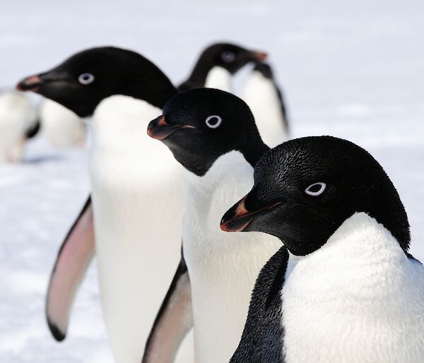 Three penguins in profile behind each other