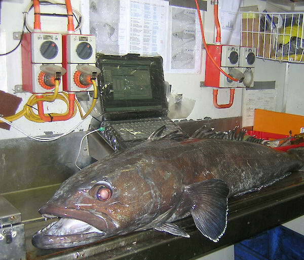 A Patagonian toothfish being measured on an electronic measuring board.