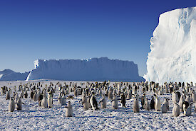 Emperor penguins at Auster Rookery