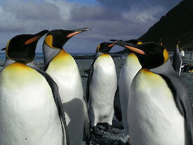 King Penguins on the beach on Macquarie Island