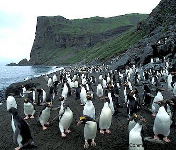 Macaroni penguin colony at Capsize Beach