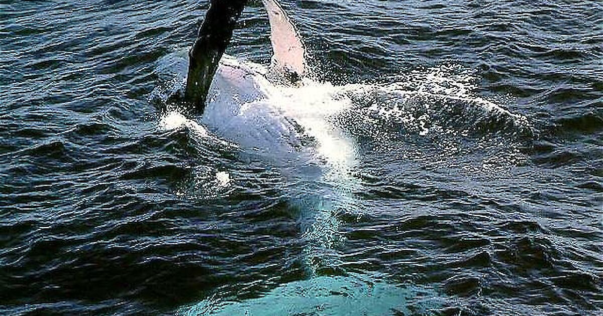 live whales How do sperm long
