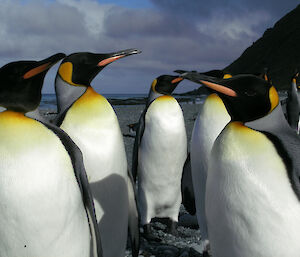 King Penguins on the beach at Lusitania Bay