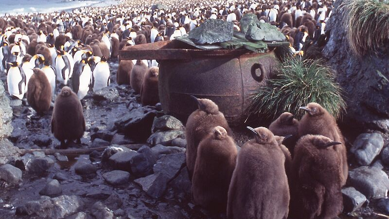 King penguin chicks in front of the remnants of a boiler and digester