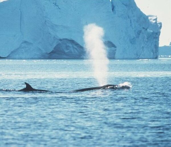 Fin whales spouting with iceberg in background