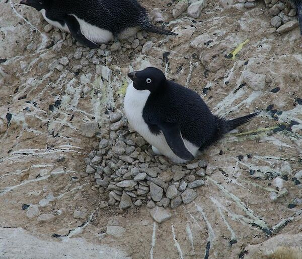 Black and white penguin with lines of excrement radiating outward from the nest.