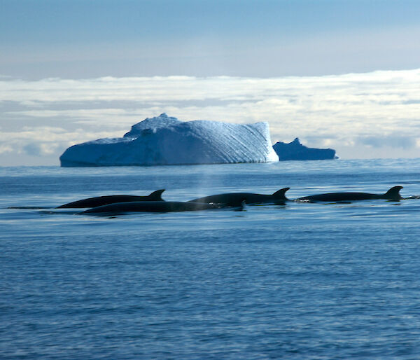 A pod of Minke whales with a large iceberg in the distance