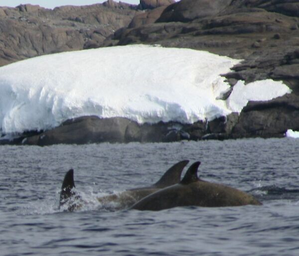 A group of Minke whales with snow-covered shore in the background