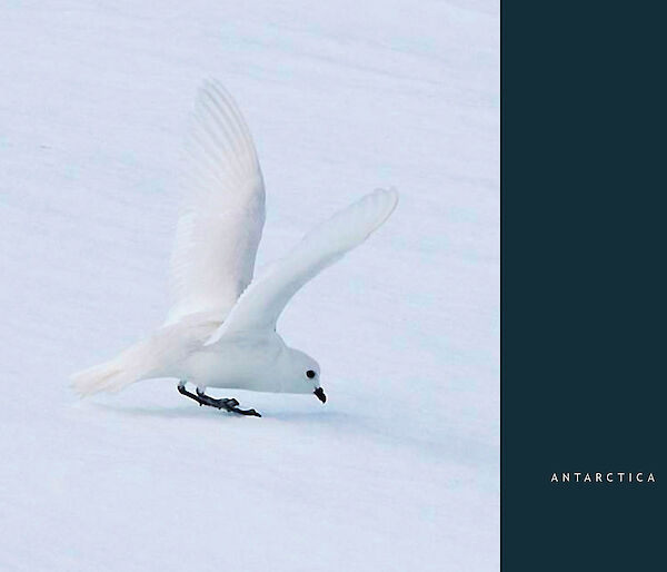 Snow petrel on the ice, with wings raised