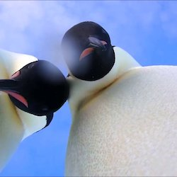 Emperor penguins peering at the camera on the ice