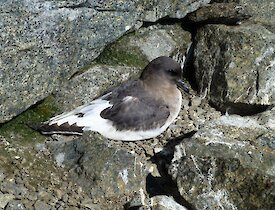 Antarctic petrel resting surrounded by rocks