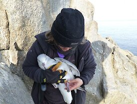 Louise checking the band on a southern fulmar