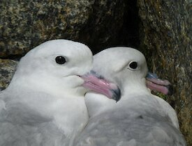 Two southern fulmars nestling against one another