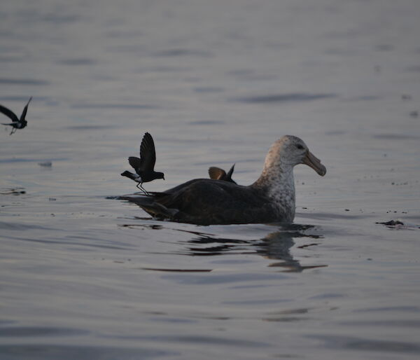 Giant petrel and Wilsons storm petrels feeding.