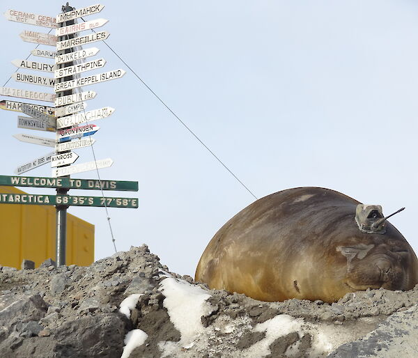 Elephant seal with tag under Davis welcome sign
