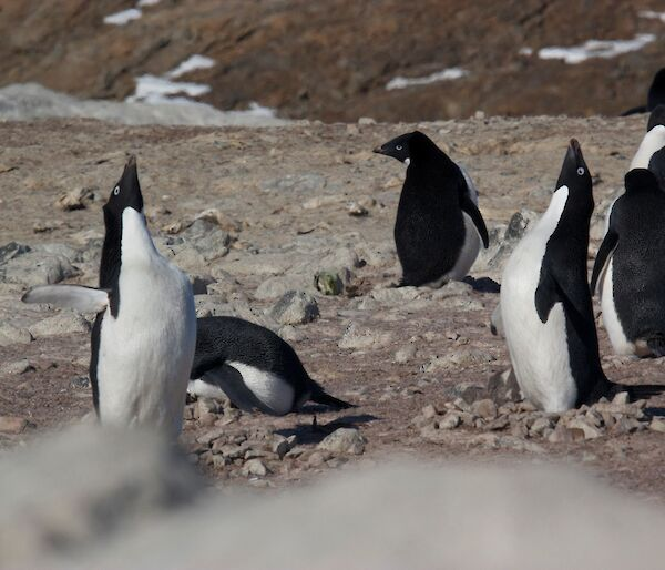 An Adelie penguin shows off