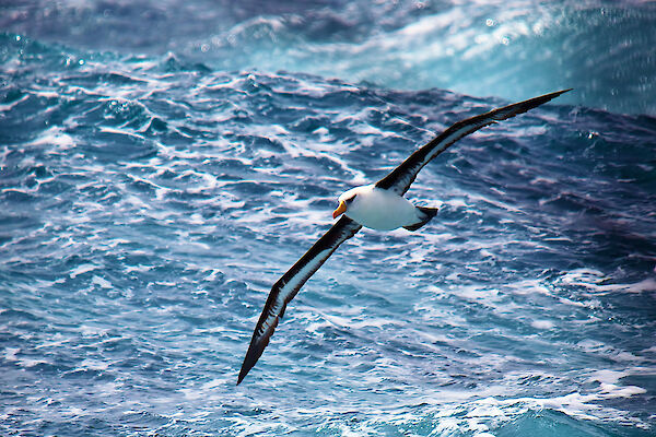 A black-browed Albatross in full flight