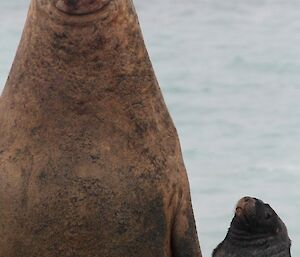 Ele seal and Ralph the Hooker Sea Lion