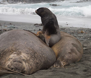 Ralph the Hooker Seal making his elephant seal nest