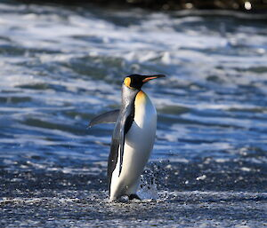 Penguin walking out of surf