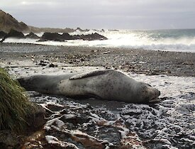 Leopard seal, lying on its side on a snow covered beach at Green Gorge