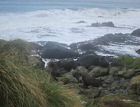 A couple of fur seals south of Waterfall Bay, just beyond the tussock on a rocky beach