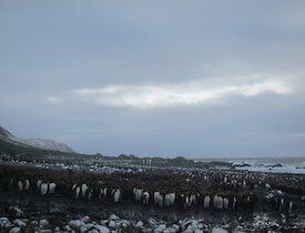 Lusitania Bay king penguin colony — looking north along the beach at a mixture of hundreds of adults and chicks