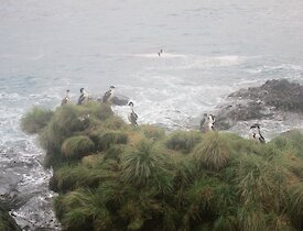 Nine Macquarie Island shags roosting on top of a tussock covered rock stack next to the ocean