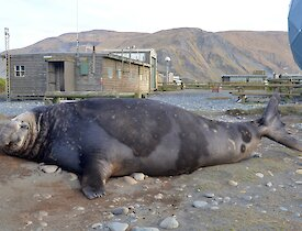 The return of the big boys — a large elephant seal seal with dark colouring, near the ANARE sat dome and Communications building