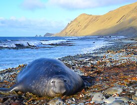 A large elephant seal lies on the rocky east beach. A little further up the beach a mottled silver and grey leopard seal can be seen. The escarpment slopes to the beach in the background, with the Nuggets seen on the horizon