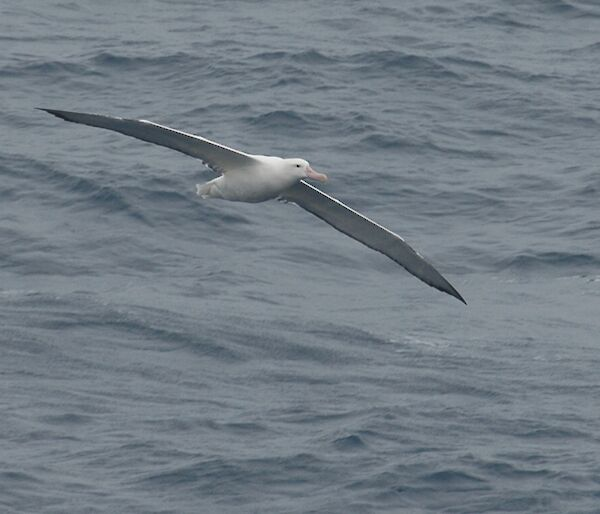 Wandering Albatross flying just above the waves